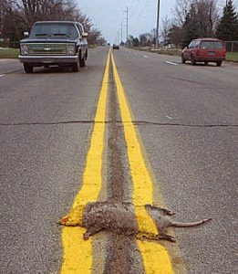 Fail - Road Striped Armadillo