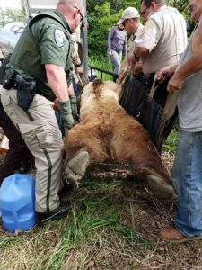 Personnel load up a grizzly bear that was darted in Conrad, MT on June 4, 2018. - photo by Donna Hepp