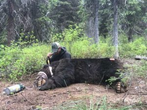 Grizzly captured west of Pend Oreille River in early October 2018 - USFWS
