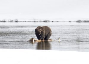 Grizzly bear on kill in winter - Jim Peco, NPS