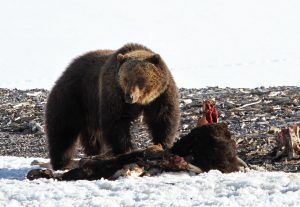 Grizzly bear feeding on bison carcass near Yellowstone Lake - Jim Peaco, NPS