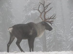 A male caribou overlooks his range along the Selkirk Mountains. - public domain image