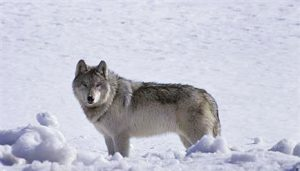 Gray Wolf - Adam Messer-Montana FWP