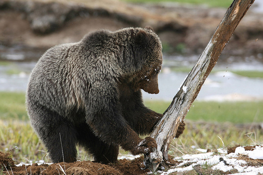 Groups Call For New Methods To Reduce Grizzly Bear Deaths North
