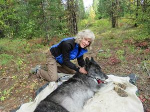 Biologist Diane Boyd with a tranquilized wolf in the field