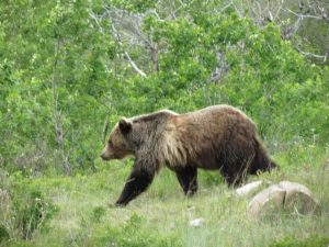 Grizzly bear on Coolidge property in the North Fork Flathead - Del and Linda Coolidge