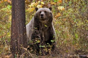 Grizzly bear in early fall - Montana FWP