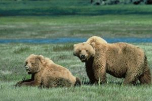 A pair of grizzly bears forage in Glacier National Park - Chris Servheen
