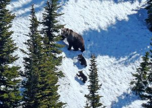 A grizzly and her cubs roam the wilds of Montana - Montana FWP