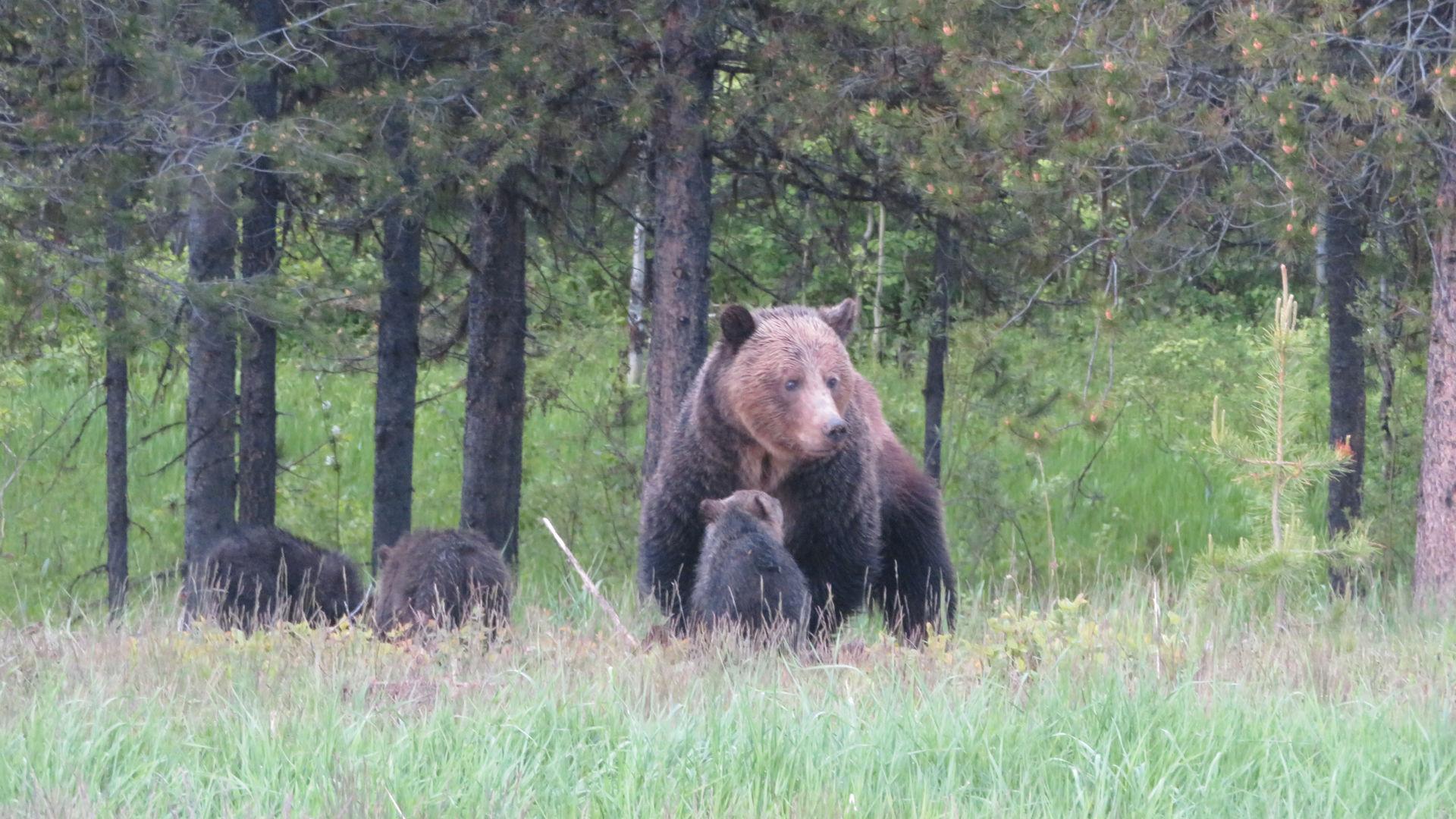 Monica with three cubs, June 8, 2020 - W. K. Walker